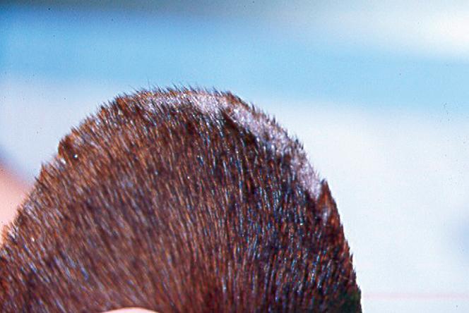 у собаки на ушах болячки покрытые корочкой фото