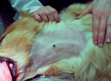 Вакцина против меланомы собак thumbnail