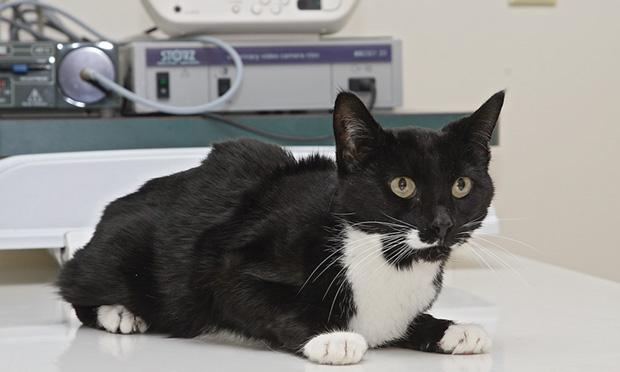 инфекционный перитонит кошек перевод рекомендаций Abcd по
