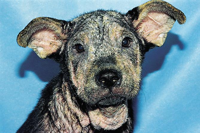Фото 7 Генерализованный демодекоз собак.  Генерализованная алопеция и папулы с корками и чешуйками на голове и шее...